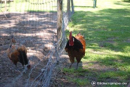 Glückliche Hühner - nicht bei Wiesenhof