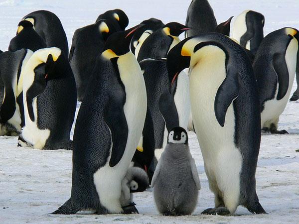Pinguine mit Nachwuchs | Bild: MemoryCatcher, pixabay.com, CC0 Creative Commons