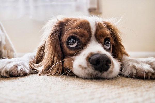 Hund mit Liebeskummer | Foto: PicsbyFran, pixabay.com, Pixabay License